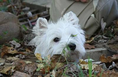 A Westie pokes his head up during an EarthDog event. Image courtesy of AKC.
